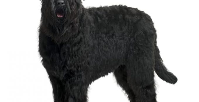 Best Puppy Foods For Black Russian Terriers