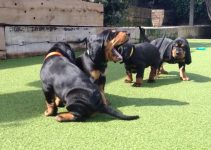 5 Best Puppy Foods for Black and Tan Coonhounds (Reviews Updated 2021)