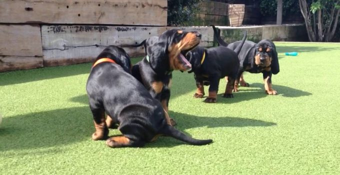 Best Puppy Foods For Black And Tan Coonhounds