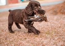 5 Best Puppy Foods for Boykin Spaniels (Reviews Updated 2021)