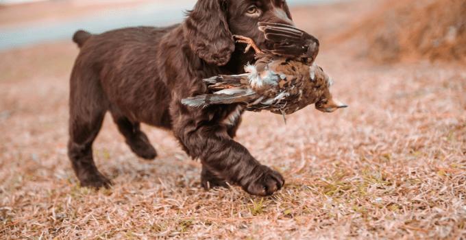 Best Puppy Foods For Boykin Spaniels