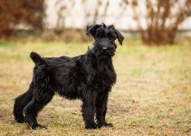Best Puppy Foods For Giant Schnauzers