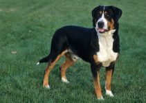 Best Puppy Foods For Greater Swiss Mountain Dogs