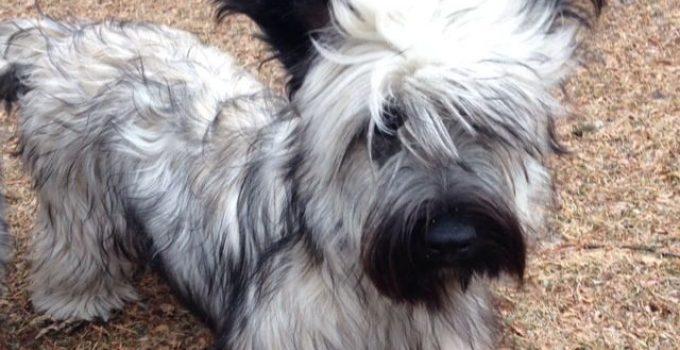 Best Puppy Foods For Skye Terriers