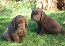 Best Puppy Foods For Sussex Spaniels