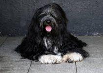 Best Dog Muzzles for Tibetan Terriers