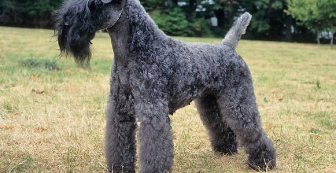 Dog Foods For Kerry Blue Terriers