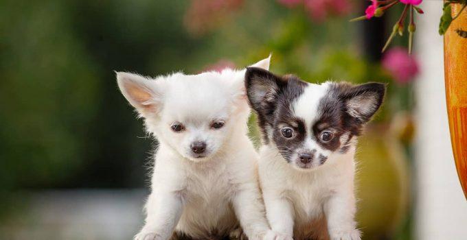 How Big Do Chihuahuas Get