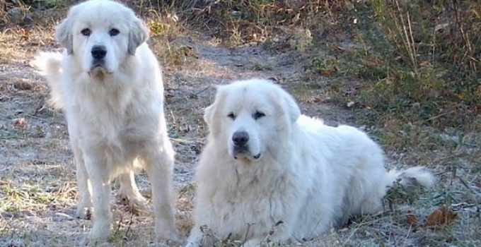 How Big Do Great Pyrenees Get