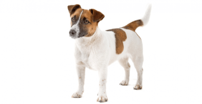 How Big Do Jack Russell Terriers Get