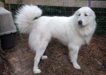 How Long Do Great Pyrenees Live?