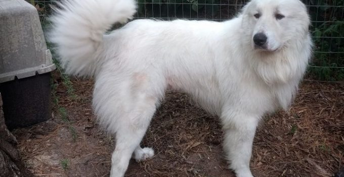 How Long Do Great Pyrenees Live