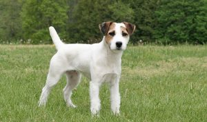 How Long Do Jack Russell Terriers Live