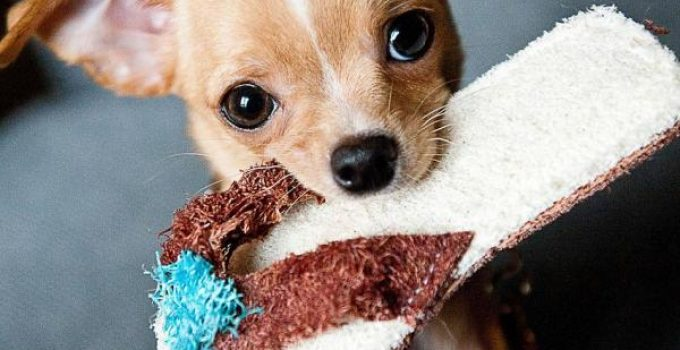 How Much Does A Chihuahua Cost