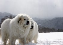 How Much Does A Great Pyrenees Cost