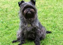 How Much Does An Affenpinscher Cost