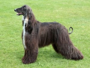 How Much Does An Afghan Hound Cost