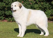 How Much To Feed A Great Pyrenees