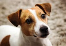 How Much To Feed A Jack Russell Terrier?
