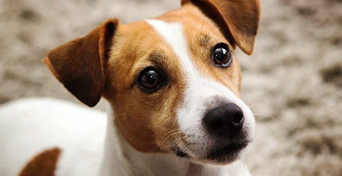 How Much To Feed A Jack Russell Terrier