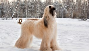 How Much To Feed Afghan Hounds