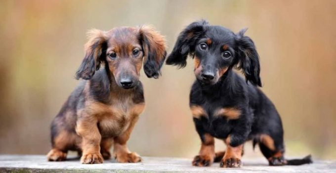 How Much To Feed A Dachshund