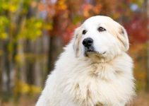 How To Care For A Great Pyrenees?