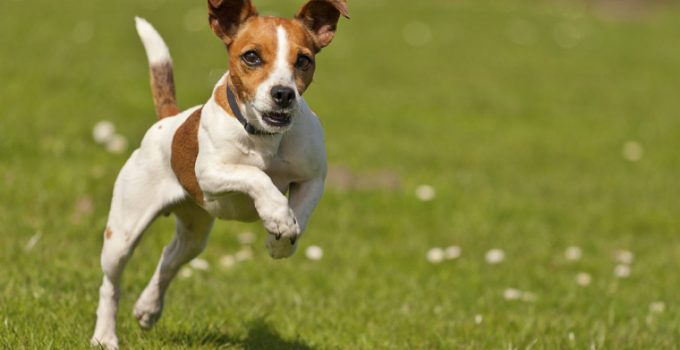 How To Care For A Jack Russell Terrier