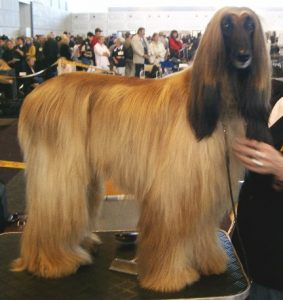 How To Care For An Afghan Hound
