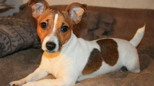 How To Get Respect From A Jack Russell Terrier