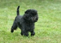 How To Get Respect From An Affenpinscher