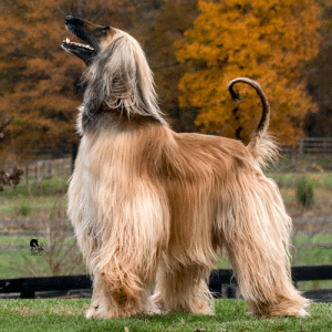 How To Get Respect From An Afghan Hound