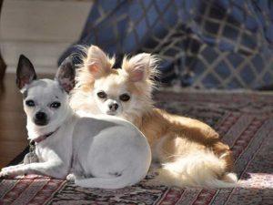 How To Potty Train A Chihuahua