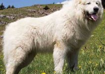 How To Potty Train A Great Pyrenees