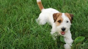 How To Potty Train A Jack Russell Terrier