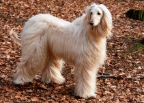 How To Potty Train An Afghan Hound