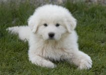 How To Properly Exercise A Great Pyrenees?