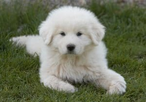 How To Properly Exercise A Great Pyrenees