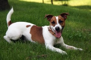 How To Properly Exercise A Jack Russell Terrier