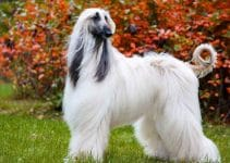 How To Properly Exercise An Afghan Hound?