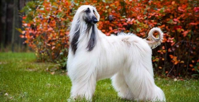 How To Properly Exercise An Afghan Hound
