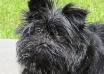 How To Reduce Affenpinscher Shedding