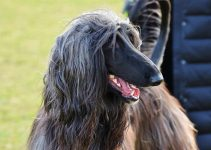 How To Reduce Afghan Hound Shedding