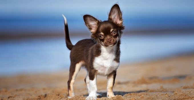 How To Reduce Chihuahua Shedding