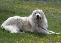 How To Reduce Great Pyrenees Shedding?