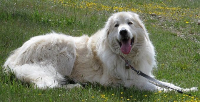 How To Reduce Great Pyrenees Shedding