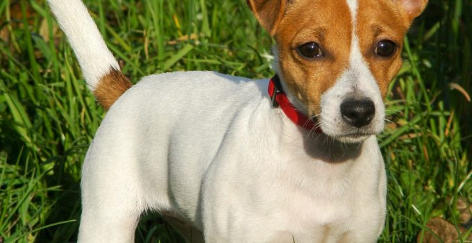 How To Reduce Jack Russell Terrier Shedding