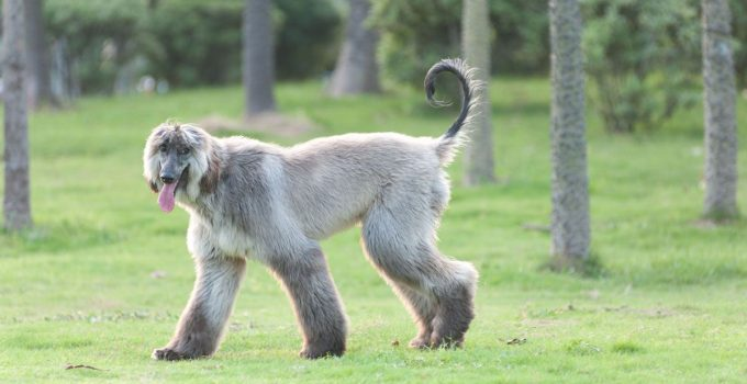 How To Train Afghan Hounds