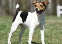 How To Train A Jack Russell Terrier