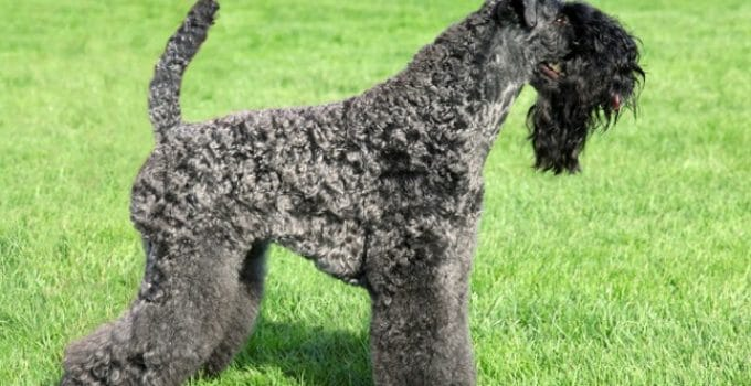 Puppy Foods For Kerry Blue Terriers